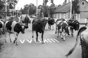 Night Cows Pasturage. Rimdžiūnai. Gervėčių Region, Byelorussia.